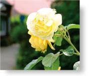 Eine Rose in Manslagt